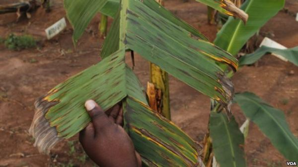 GMO bananas are resistant to black sigatoka affecting these banana leaves
