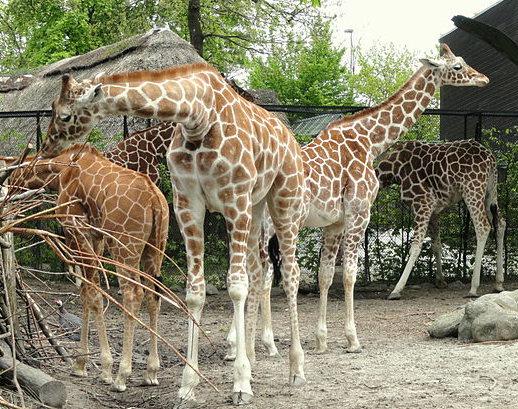 Giraffes. Copenhagen Zoo
