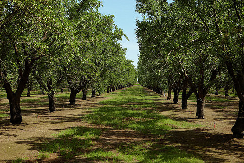 California almond orchard photo