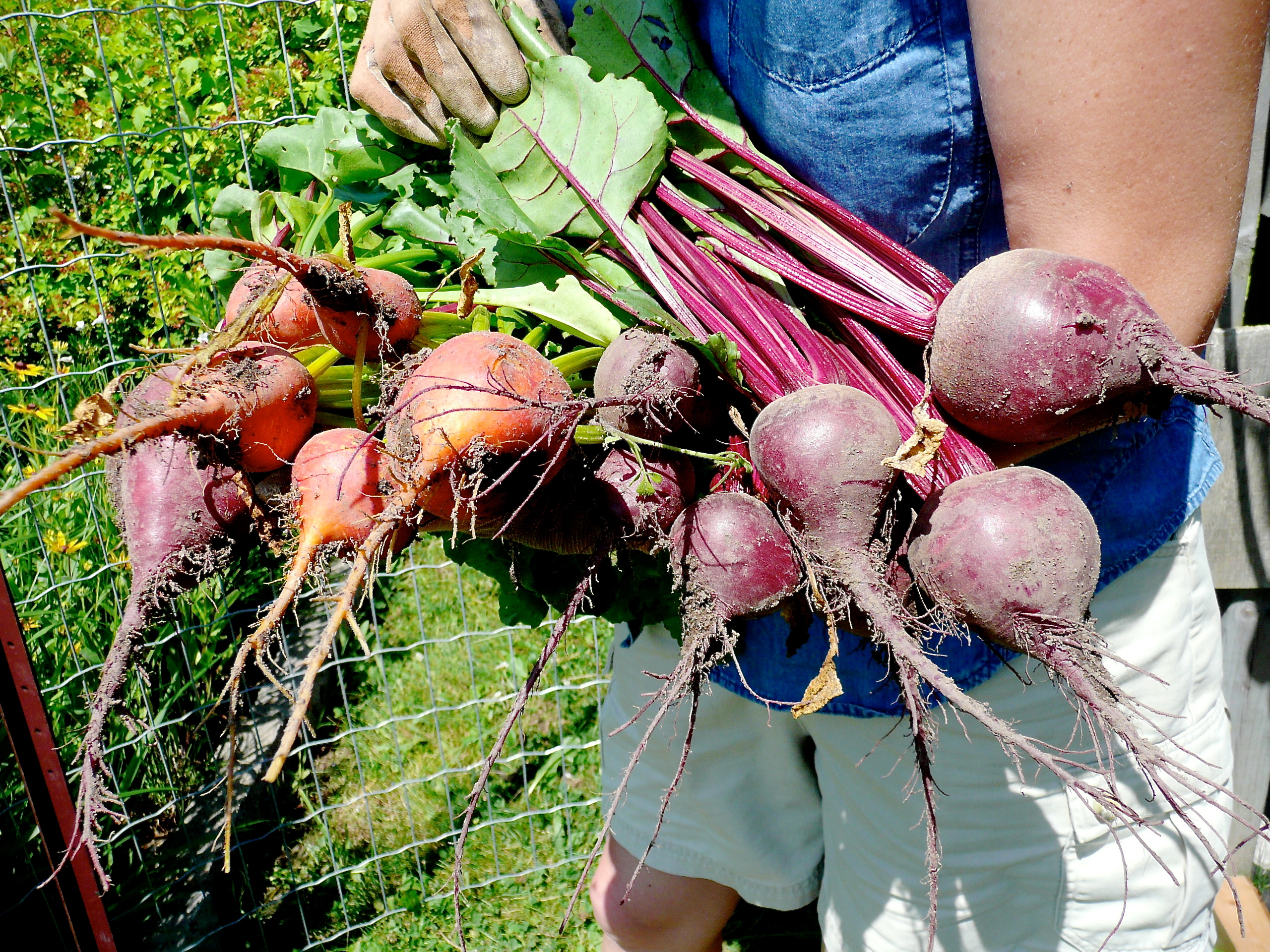 Fresh red and golden beets