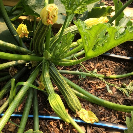 Portofino summer squash grows with irrigation in the hoop house