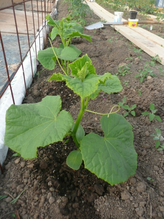 Newly planted cucumbers in the hoop house