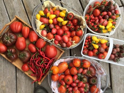 Heirloom tomato bounty at Polka Dot Hen Produce