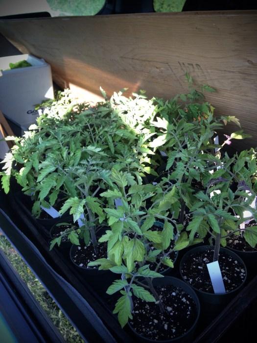 Tomato seedlings packed for market