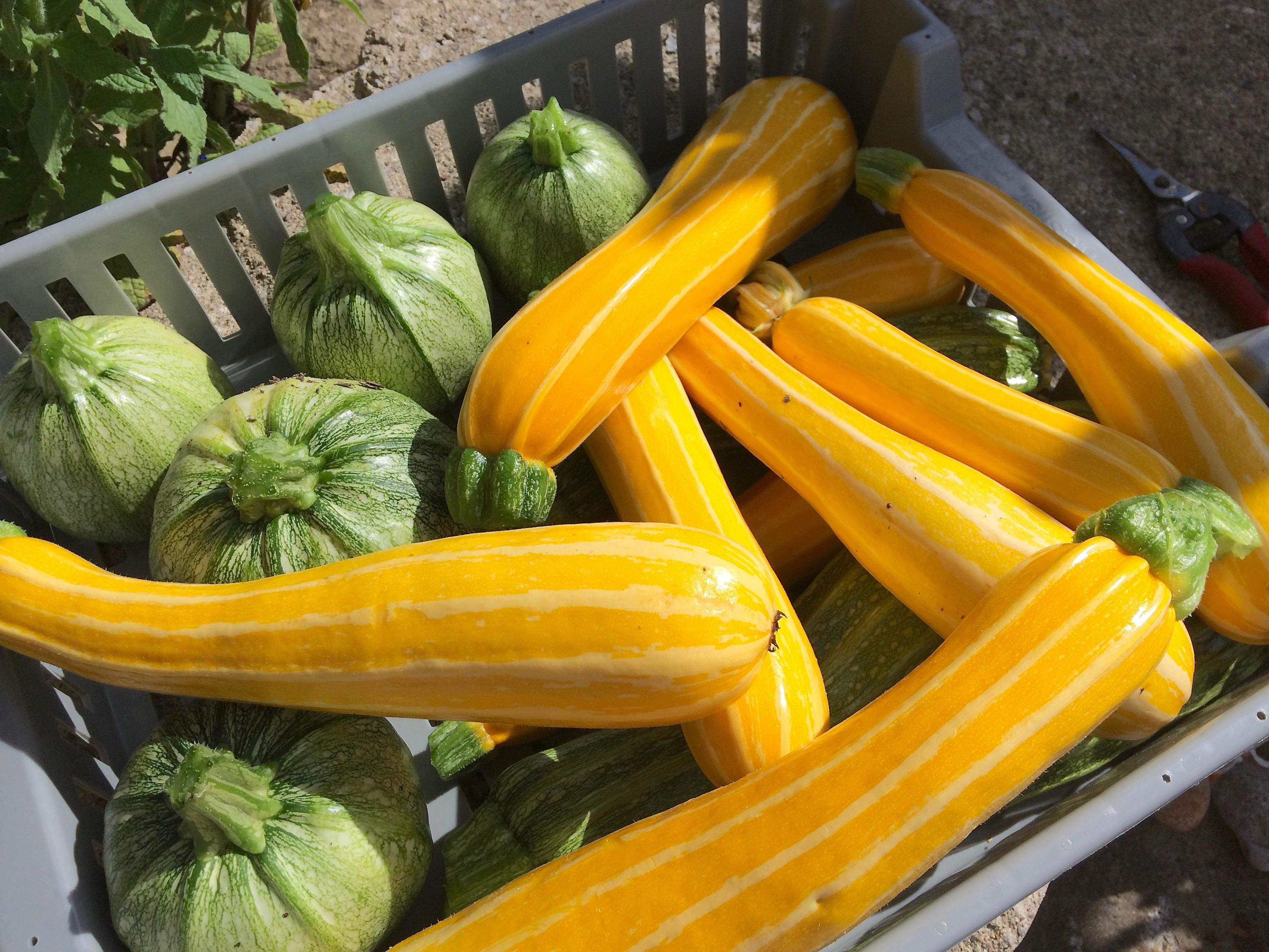 summer squash zucchini yellow ronde de nice