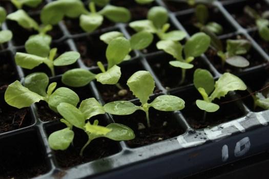lettuce seedlings polka dot hen produce