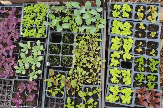 seedlings fresh produce wiarton