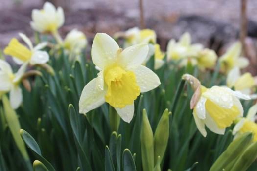 daffodil fresh wiarton
