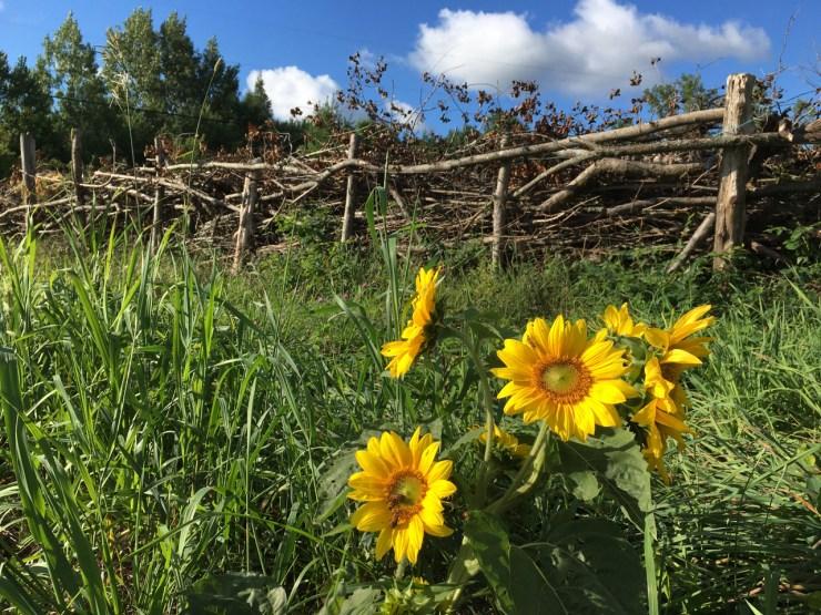 Sunflowers at Bird's Nest garden Farm