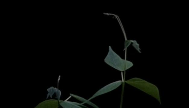 photo-758-croissance-du-haricot