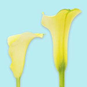 Calla Lily Yellow