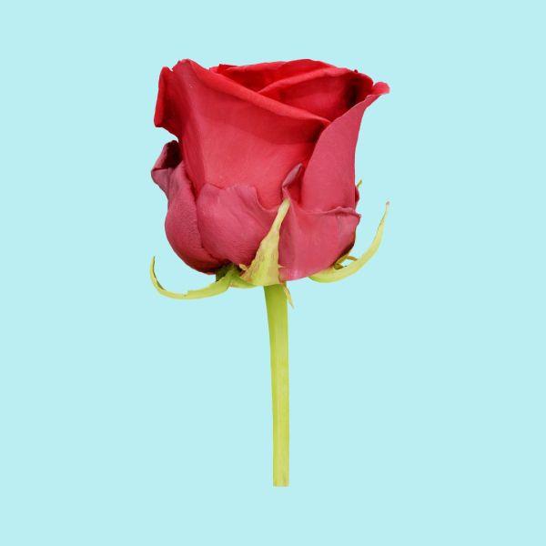 China Chinese Rose Rosa Chinensis 2