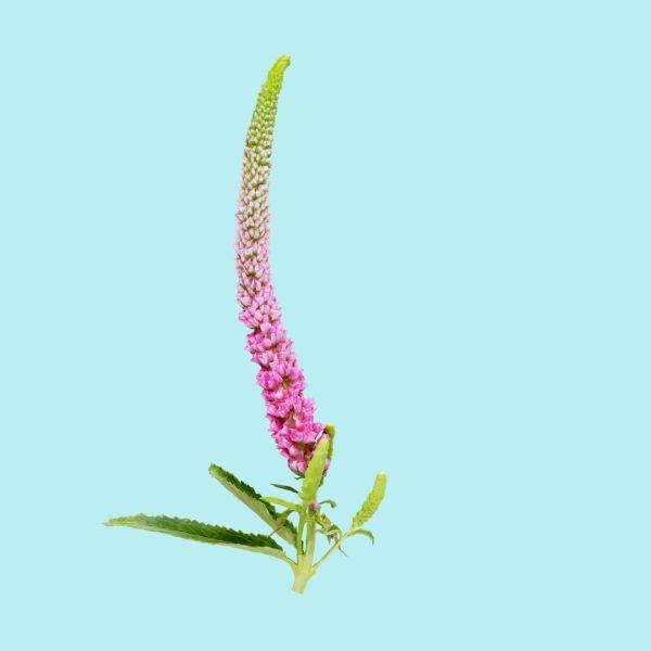 Summer Lilac Buddleja Davidii Butterfly Bush