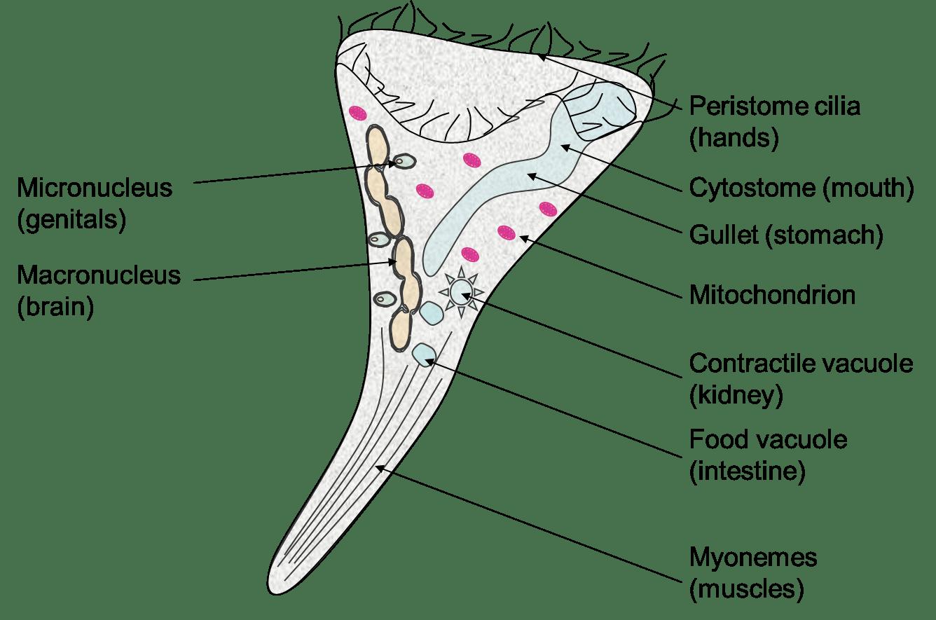 Glockentierchen Polypompholyx