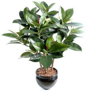 Ficus Rubbing (Elastka): การดูแลที่บ้านการปลูกถ่าย