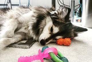 Sleeping Pomsky