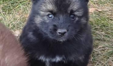 Black Pomsky - Pomeranian Husky