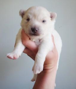 Pomksky Puppy
