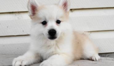 White Pomeranian Husky