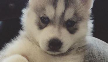 Lani The Husky