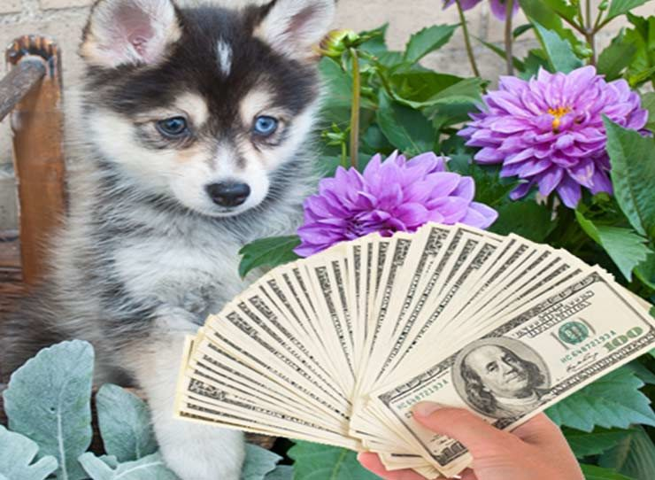 How Much Are Pomsky Puppies?