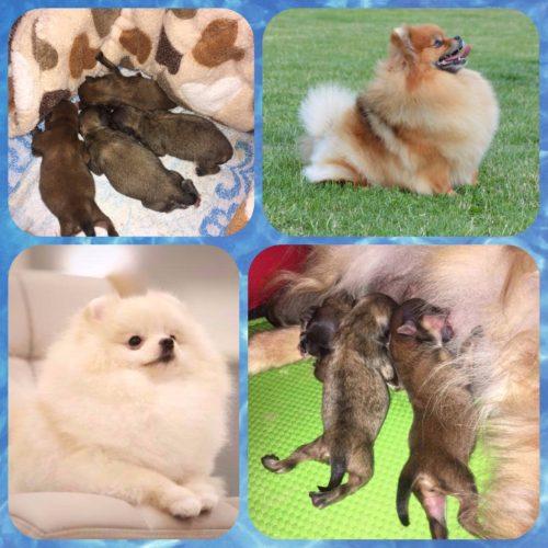 Quido and Bibi-pomeranian puppy