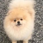 pomeranian pom girl puppy