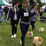Pomeranian pes (male) - soutěž