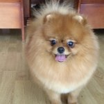female-Pomeranian-Lili