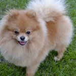 Pomeranian pes (male)