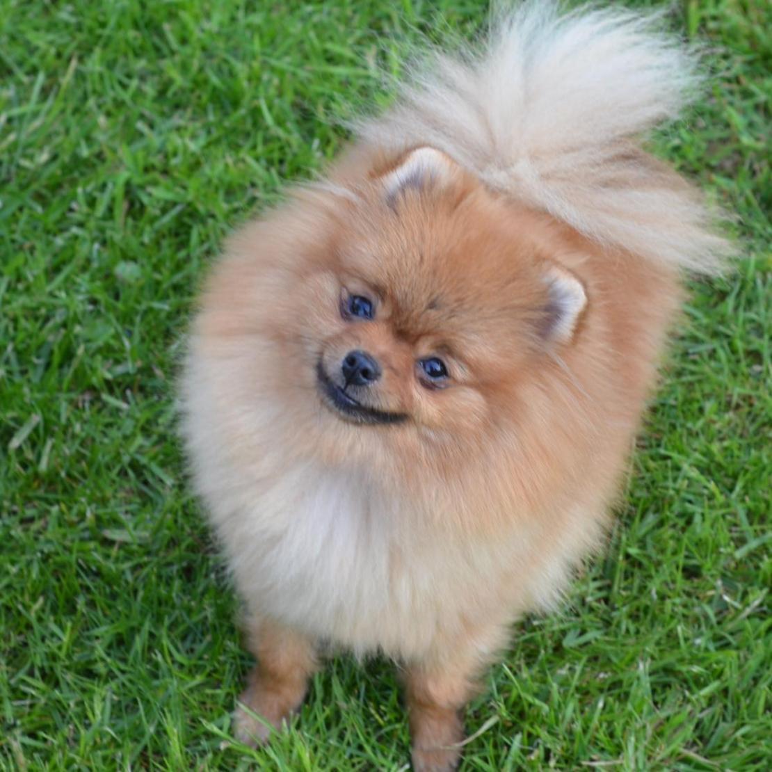 Pomeranian Engie (2)