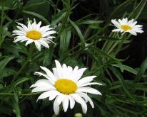 3 daisys