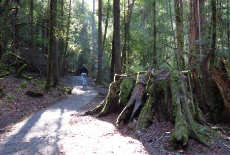 Walking among the tall trees