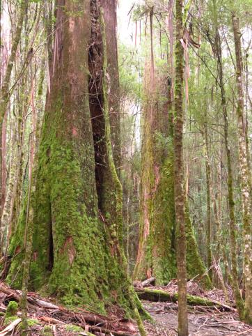 Moss covered giants