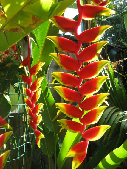 More heliconia