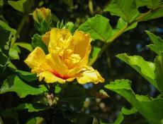 yellow hibiscus_3625x2778