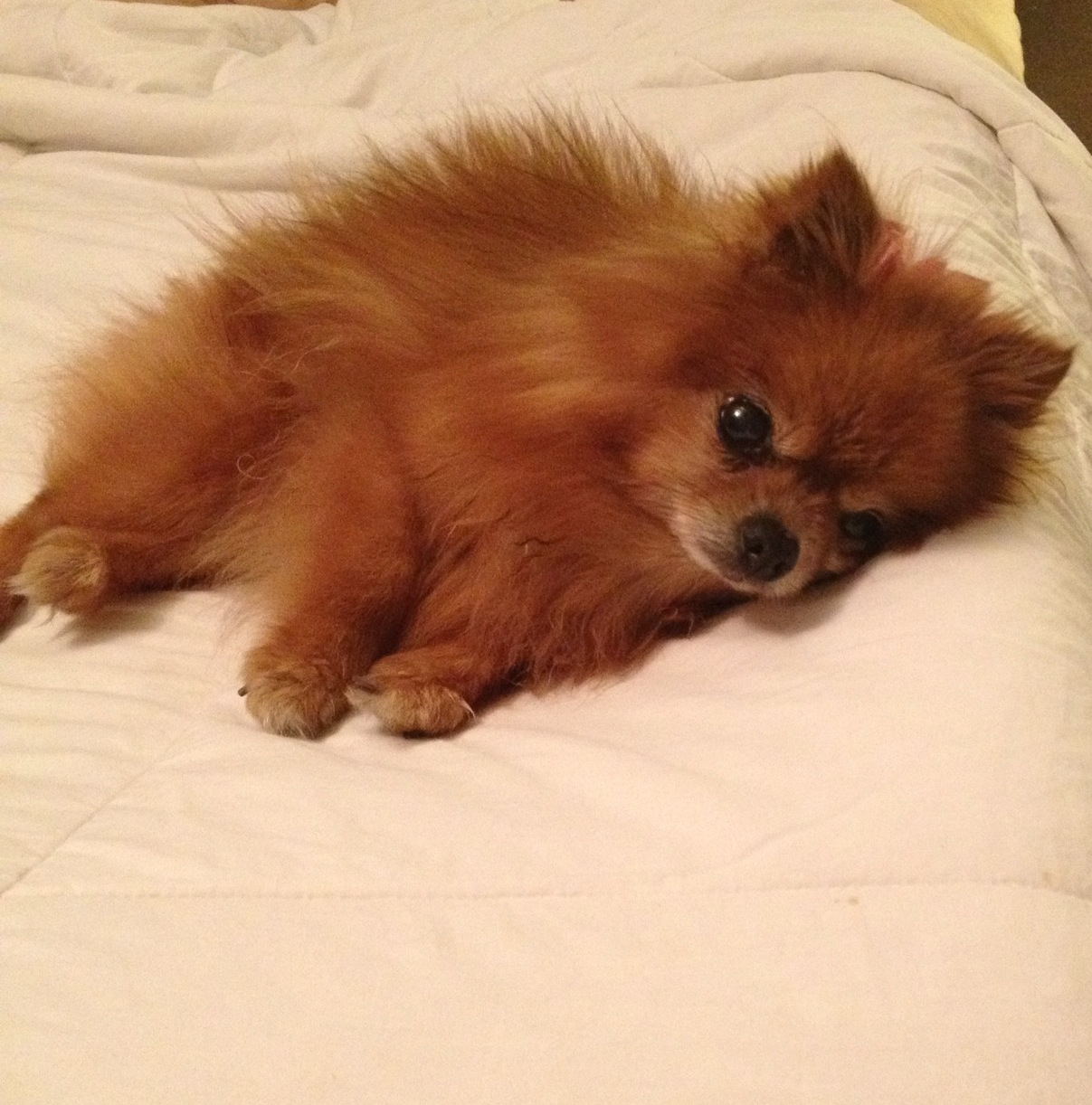 Does Your Pomeranian Accidentally Fall From The Bed
