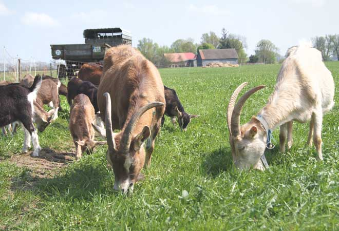 Ziegen Ziegenhof Sievertshagen