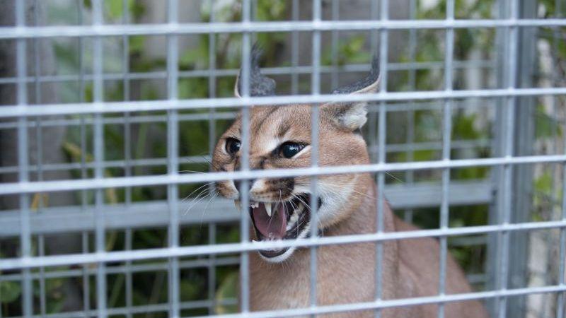 ?? Champigny-sur-Marne (94) : Capture d'un lynx dans le jardin d'un particulier