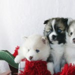 Tiny Pomsky Boutique Pomsky Puppies Available