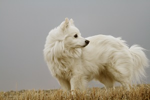 American Eskimo Dog in a field