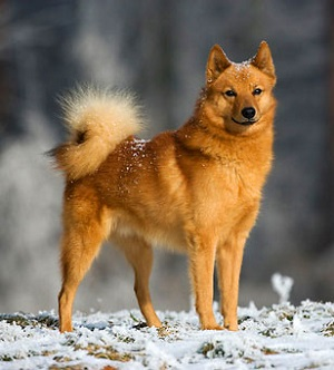Finnish Spitz standing in the snow