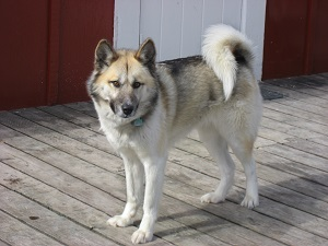 Greenland dog on a deck