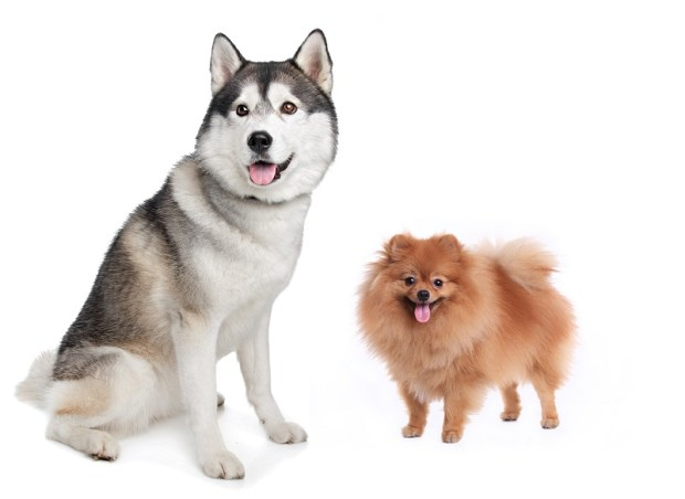 8 Reasons Why You Should (or Shouldn't) Get a Pomsky ...
