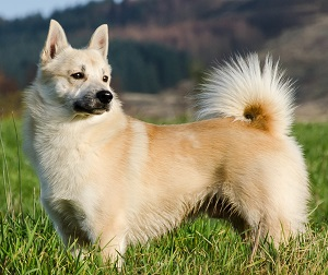Norwegian Bunhund tan colored standing in a field