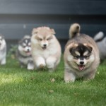 Pomsky Puppies For Sale In Or