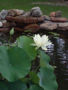 Jeannie and Steve's Lotus in their new pond