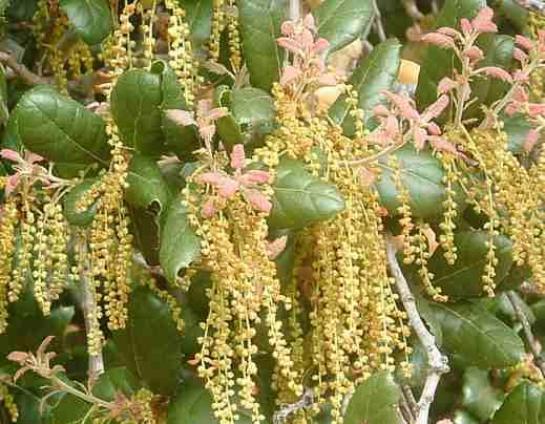 Quercus_agrifolia