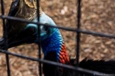 The southern cassowary. © Violet Acevedo