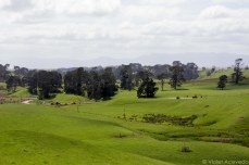 Within that corpse of trees sits the famed Hobbiton. © Violet Acevedo